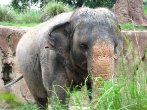 What do Asian elephants eat for live